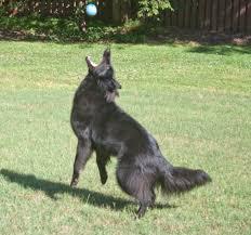 belgian sheepdog training ch blackforest u0027s amaryllis u2013 lilly u2013 blackforest belgian sheepdogs