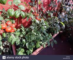 urban vegetable garden with large pots on the terrace and red