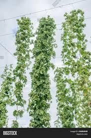 hops yard hops plants climbing image u0026 photo bigstock