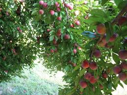end of summer fruit a guide to plums i eat grass