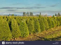 rows of evergreen trees for christmas trees in a nursery stock