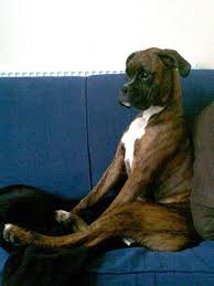 boxer dog vine the 517 best images about boxer love on pinterest discover more