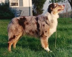 australian shepherd unique names 89 best australian shepherd images on pinterest animals aussie