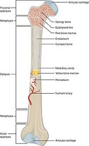 Which Cell Helps In Movement Of Bones Bone Wikipedia