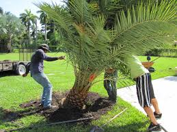 sylvester date palm tree planting sylvester date palm trees in our backyard ostelinda
