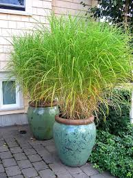 ornamental grass in turquoise pots by digirrl ornamental grasses
