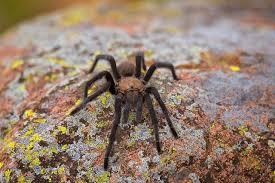 Oklahoma Wildlife images Wildlife department brown tarantulas most commonly seen in jpg
