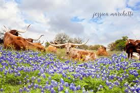 texas longhorn bluebonnets bluebonnet art longhorn print