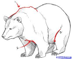 drawn grizzly bear line drawing pencil and in color drawn