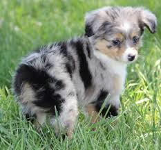 australian shepherd haircuts 200 best furry friends images on pinterest animals puppies and