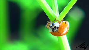 How To Find Ladybugs In Your Backyard Mantis Ladybug Amazing World Of Nature In Our Backyard Youtube