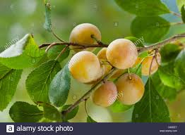 plum mirabelle de nancy late summer small fruit tree tiny sweet