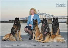 belgian sheepdog oregon sky acres belgian tervuren