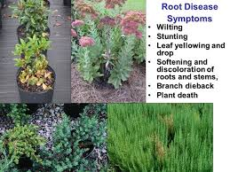 Common Plant Diseases - sustainable management of common plant diseases in the landscape