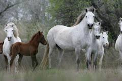 camargue white horse wallpapers white camargue horse royalty free stock photos image 22300428