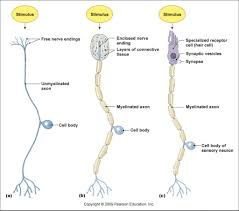anatomy of sensory neuron delivery guide for ocr asa level biology