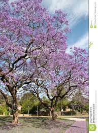 lilac blossom on trees stock photos image 311643
