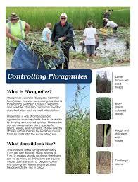 native plants ontario invasive phragmites research georgian bay forever