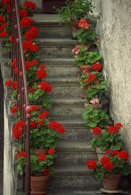 Red Flag White Flower Best 25 Geraniums Ideas On Pinterest Caring For Geraniums