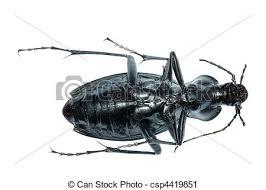 was ist das für ein insekt eine wanze oder was urlaub insekten insekt boden wanze käfer carabus prodigus isolated