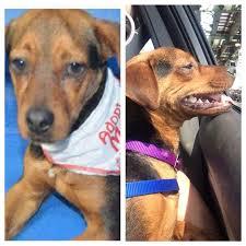 belgian malinois rescue florida dog rescues in florida my dog rescue