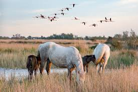 camargue white horse wallpapers white horse free pictures on pixabay