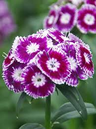 dianthus flower dianthus sweet purple white bluestone perennials