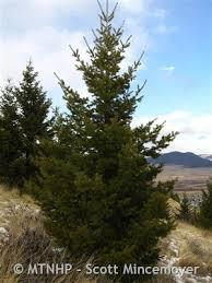 douglas fir montana field guide