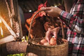 How To Raise Backyard Chickens For Eggs How To Raise Backyard Chickens Hirerush Blog