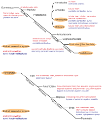 Nervous System Concept Map Jcdd Free Full Text On The Evolution Of The Cardiac Pacemaker