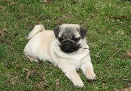 affenpinscher puppies for sale in ohio pug puppies for sale page 2 akc puppyfinder