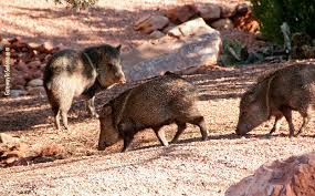 Arizona wild animals images The javelina sedona arizona 39 s famous pig like desert dweller jpg