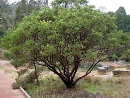 manzanita tree manzanita pruning when and how sfgate