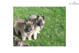 belgian sheepdog history belgian shepherd tervuren dog puppy dog gallery