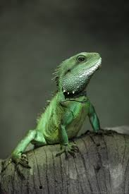 200 best reptiles images on pinterest lizards amphibians and