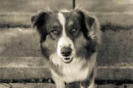 australian shepherd black and white free images black and white puppy monochrome border collie
