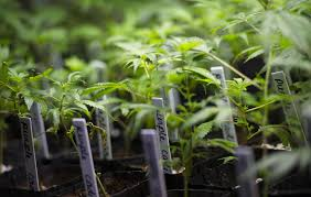 cloning cannabis 101 3 how to make clones at home