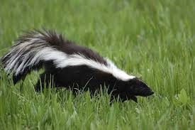 10 pungent facts about skunks mental floss
