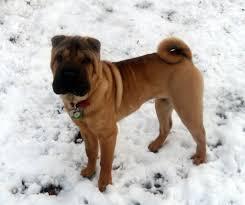 overdone shar peis chaz hound dog forums