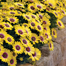 african native plants african daisies are a must grow official blog of park seed