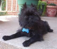 affenpinscher pics affenpinscher dog breed pictures 2
