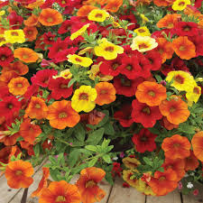 hanging basket plants for sun hanging baskets welcome redbarn mercantile okotoks the