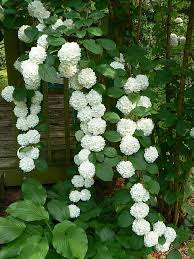 landscaping and outdoor building the best climbing plant for