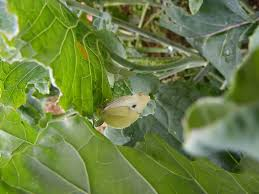 treating broccoli issues u2013 dealing with common broccoli pests and