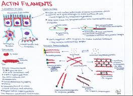 cell biology study guides ashley u0027s biology study guides