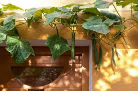 tips to effectively grow cucumbers indoors gardenaware com