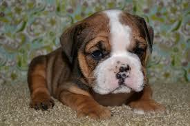 pug x boxer dog valley bulldog boxer bulldog mix info temperament puppies