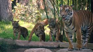 tiger cubs with