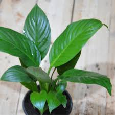 peace lilly buy peace spathiphyllum plant online at nursery live