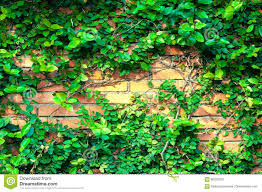 climber plant on red brick wall background green leaf texture